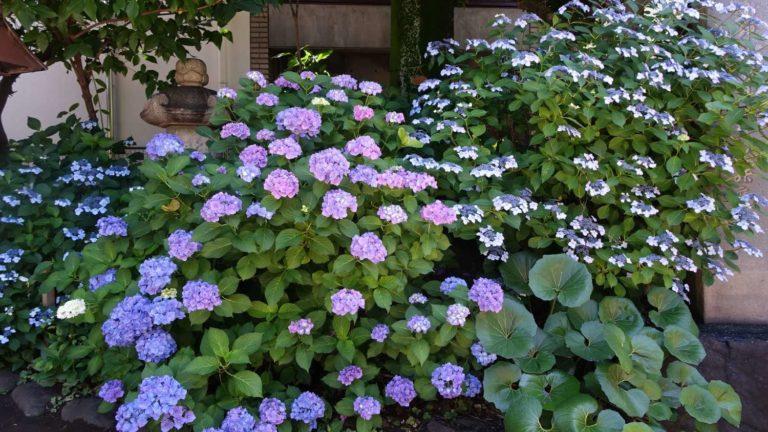 紫陽花、繡球花