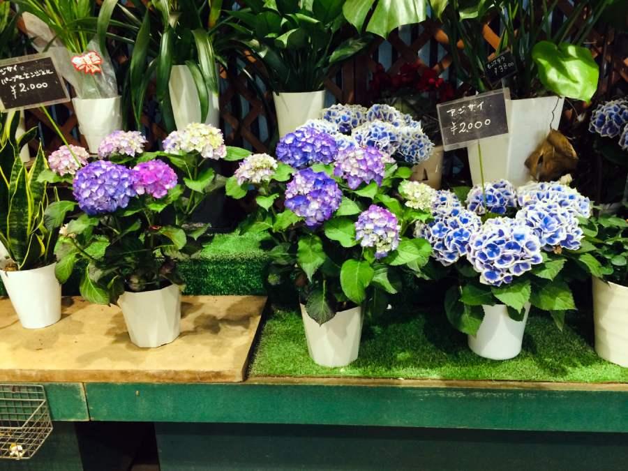 紫陽花盆栽、繡球花盆栽